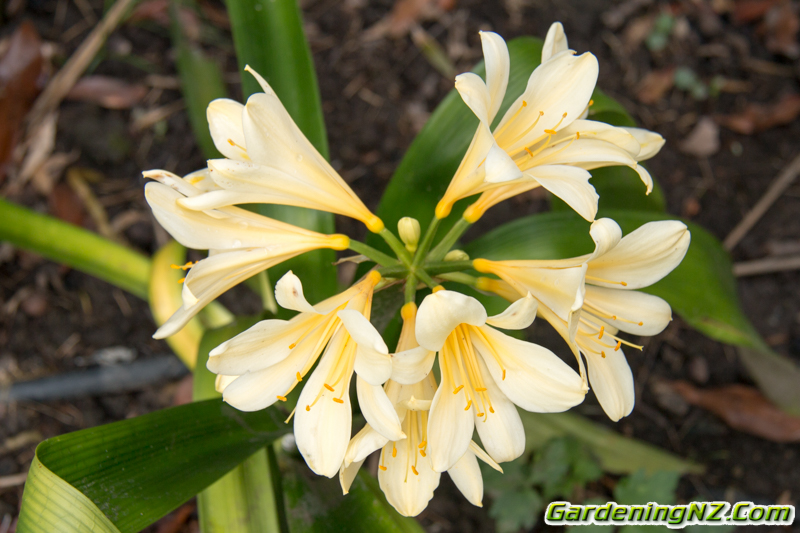 Clivia Yellow variety