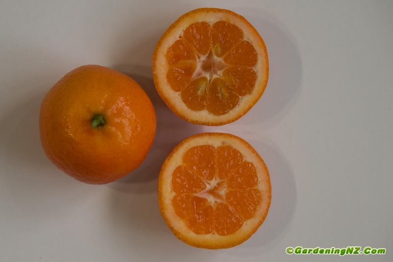 Best mandarin variety